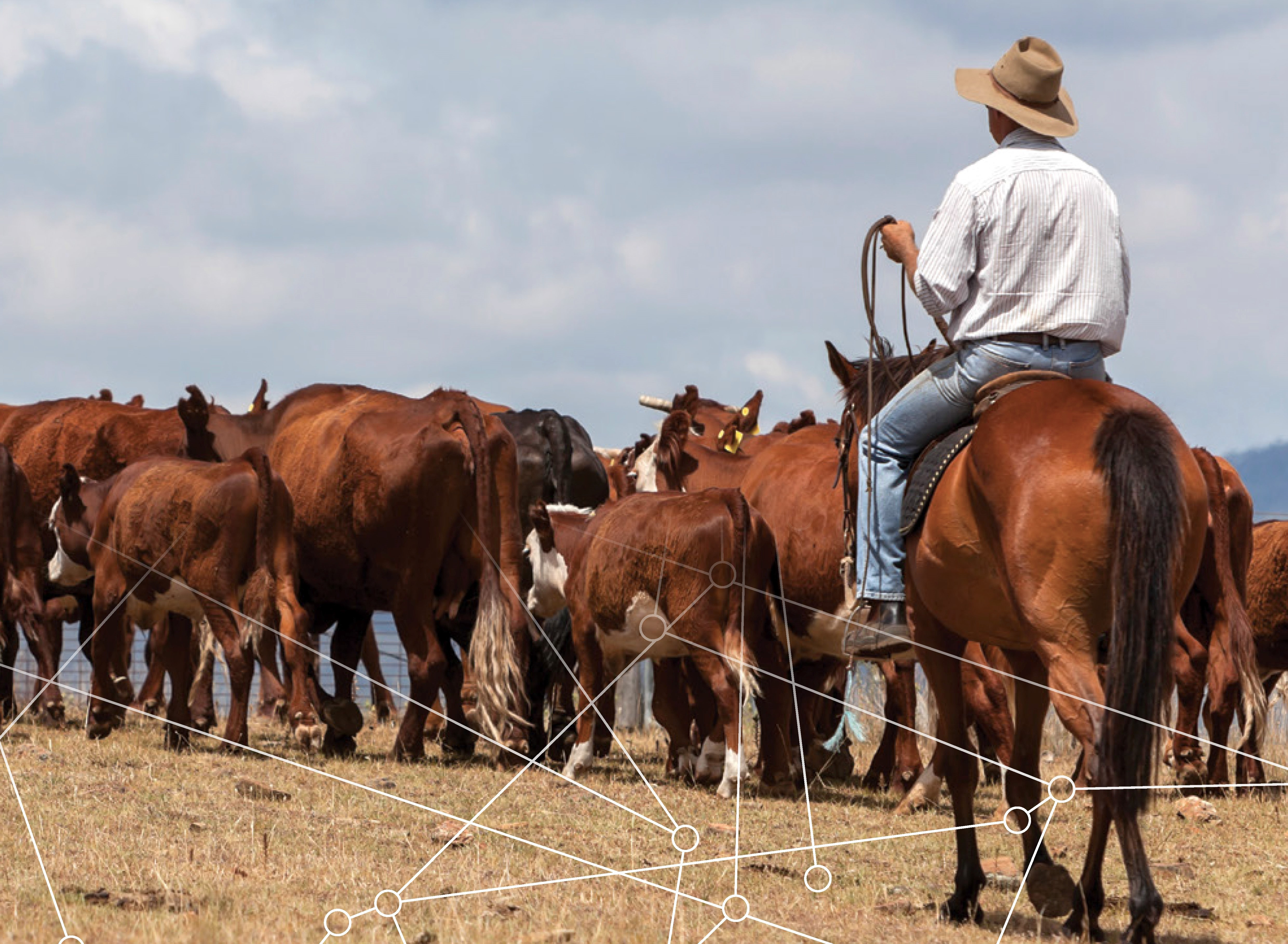 Connecting the beef cattle supply chain